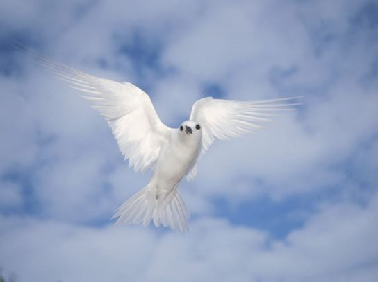 peace-white-dove
